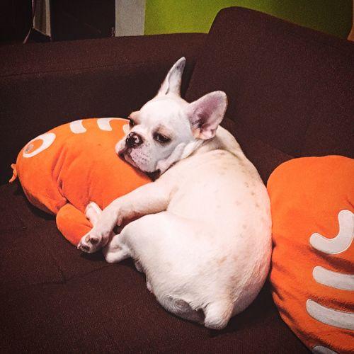 一个寂寞无零食的晚上 Relaxing Bulldog SOFA TIME Lonely Toffee