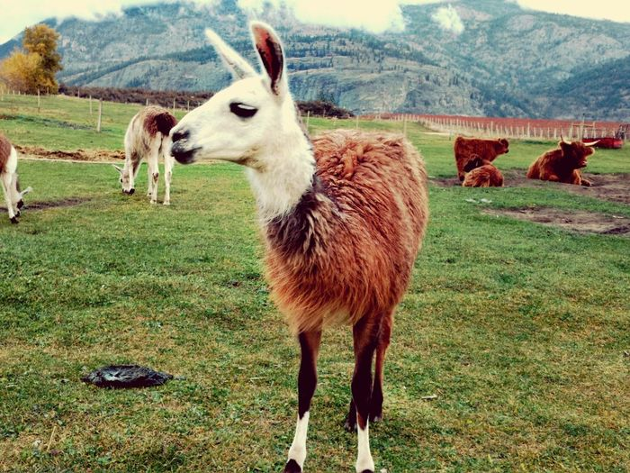 Animal Themes Field Domestic Animals Mammal Livestock Standing Nature Llama Grass Landscape No People Day Outdoors Sky