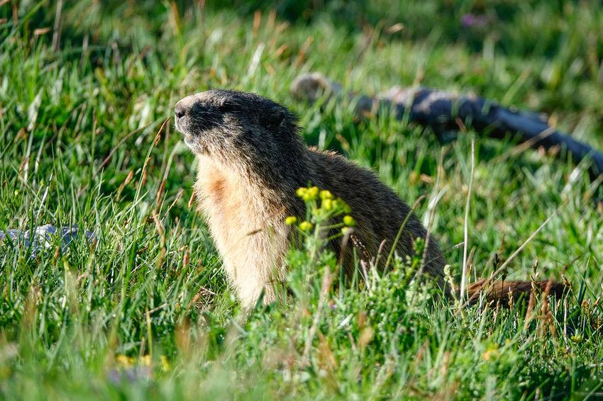 Mammal Marmot Marmota Animals In The Wild Mountain Mountain Animal National Park Nationalpark Berchtesgaden Berchtesgaden Nature Grass Close-up