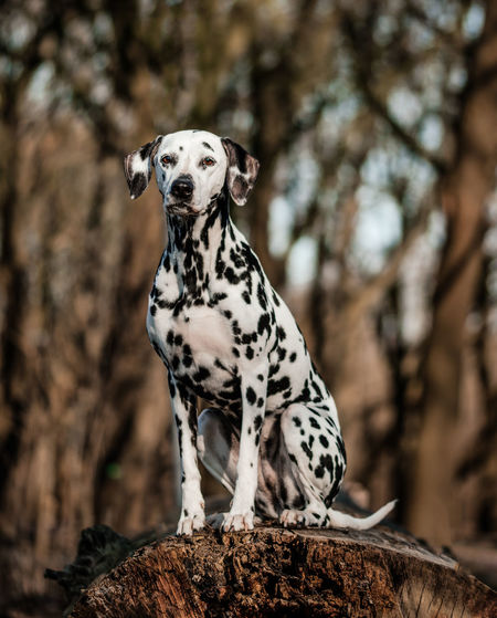 Dalmatian dog sitting on an old tree Dog Sitting Animal Animal Themes Brown Color Dalmatian Dog Dog Domestic Domestic Animals Focus On Foreground Mammal Nature No People One Animal Pets Plant Tree