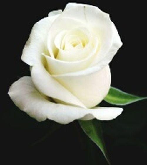 Flowers Mawar EyeEm Nature Lover