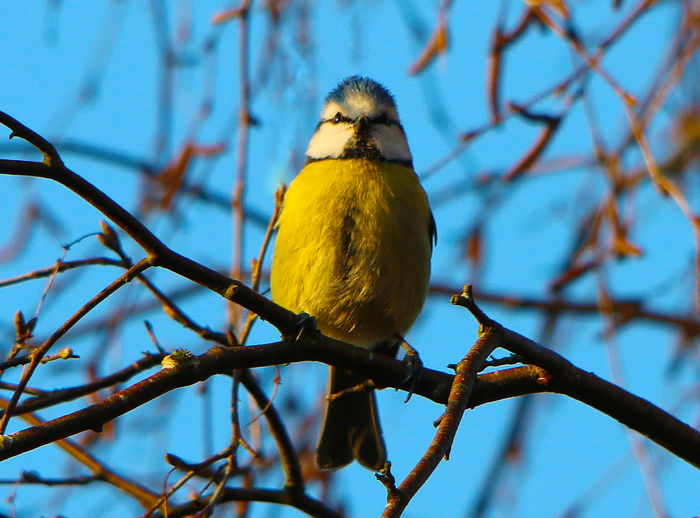 Blue tit bird perching on tree branch