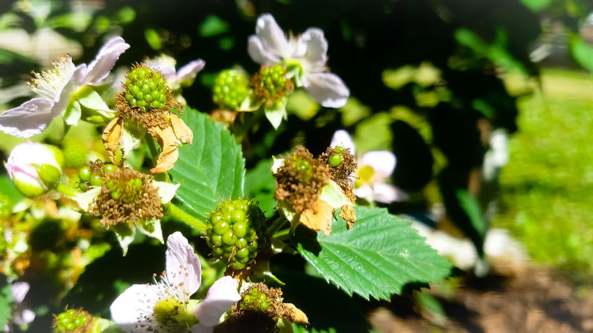 Growing BlackBerry bush! Plant Nature Close-up Growth Flower Head Beauty In Nature Blackberry