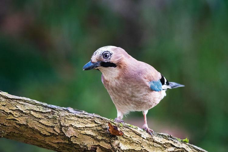Close-up of a bird perching on branch, jaybird