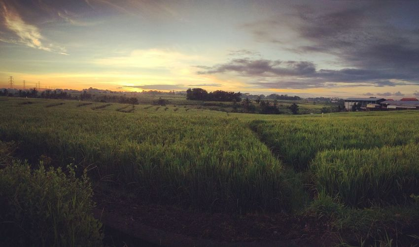 The power of rice IPhoneography Field Landscape Rural Scene Nature Beauty In Nature Sunset Cloud - Sky