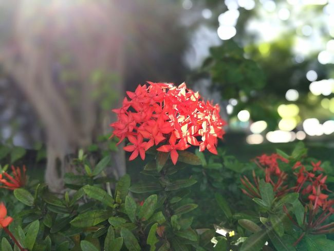 Beauty In Nature Blooming Close-up Day Flower Flower Head Focus On Foreground Fragility Freshness Green Color Growth Ixora Leaf Nature No People Outdoors Park - Man Made Space Petal Plant Red Zinnia