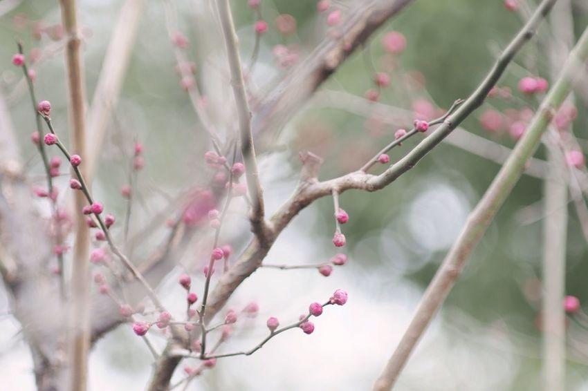 Spring Flowers Flowers Flower Ume