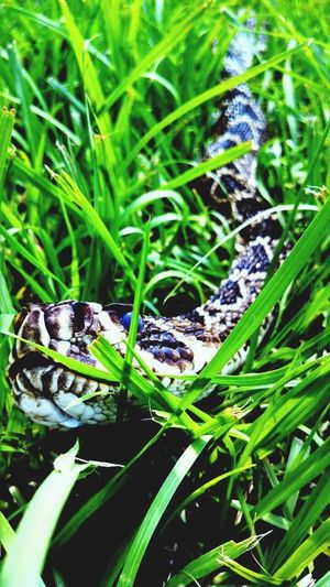 Animal Markings EyeEm Nature Lover Rattlesnake Diamondback Animal Themes Animals In The Wild Wildlife One Animal Green Color Leaf Day Grass Outdoors Animal Wildlife No People Close-up Nature Plant