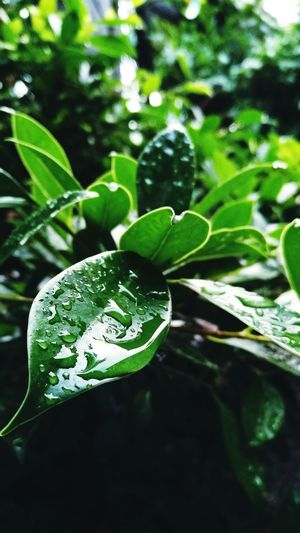 Leaf Green Color Growth Plant Nature Outdoors Beauty In Nature Freshness Coldmornings Drops Of Water Drops Of Rain Raindrops Close-up