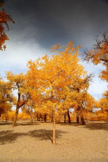 Autumn Forest Golden Inner Mongolia Tree Warm 胡杨