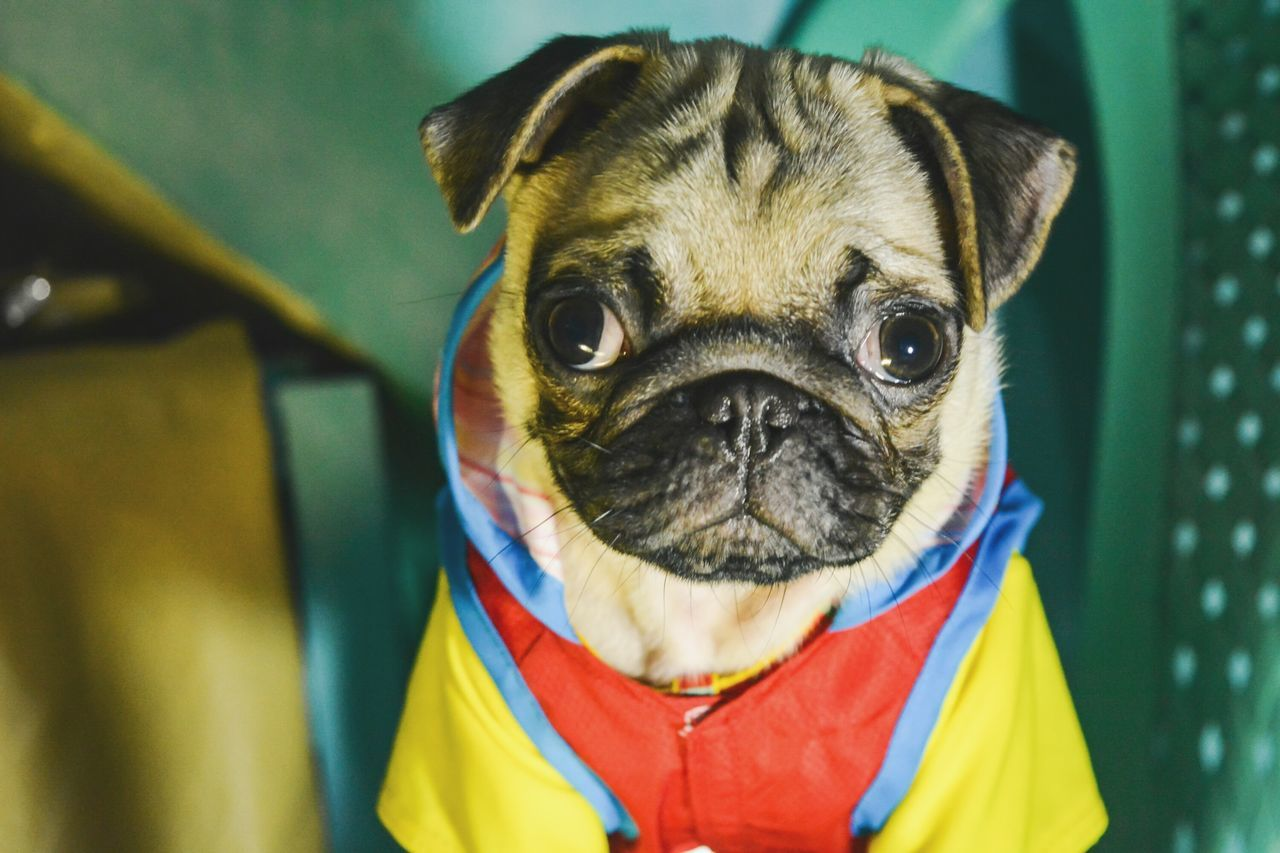dog, one animal, mammal, domestic animals, pets, animal themes, looking at camera, portrait, pug, no people, day, outdoors, close-up