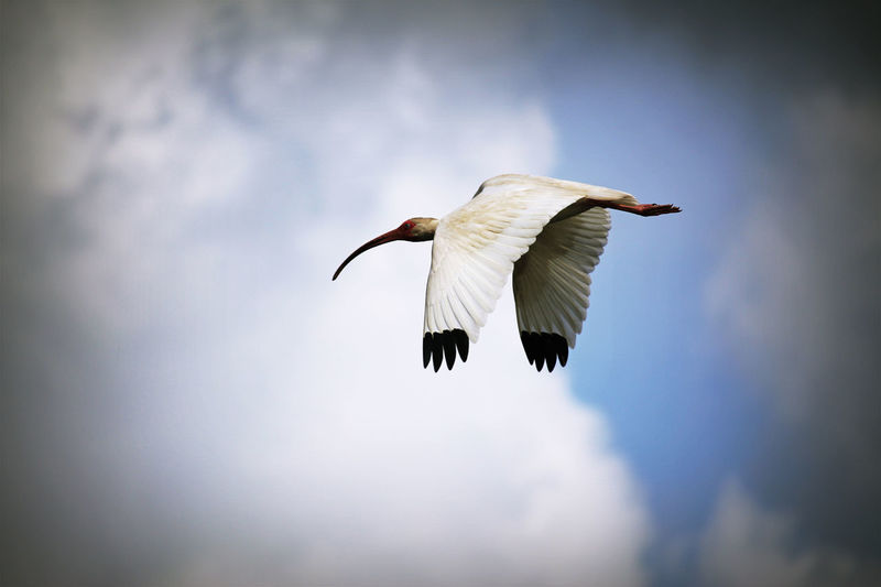 Low angle view of american white ibis against cloudy sky