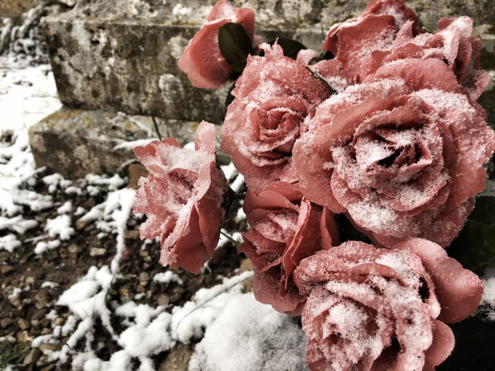 Flower Cold Temperature Freezing Winter Passion Feelings Snow Rose - Flower Wintertime Valentine's Day  Love Nature Flower No People Outdoors Fragility Beauty In Nature Day Cold Temperature Close-up Red Winter Snow Flower Head Freshness