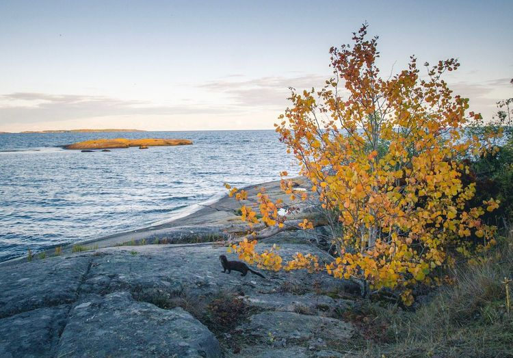 Autumn is here   Sea Water Horizon Over Water Tranquil Scene Scenics Beauty In Nature Rock - Object Sky Shore Nature Tranquility Cloud - Sky Coastline Outdoors Remote Tourism Day Wave Non-urban Scene Vacations Mink Animal EyeEm Nature Lover Eye4photography  EyeEm Gallery