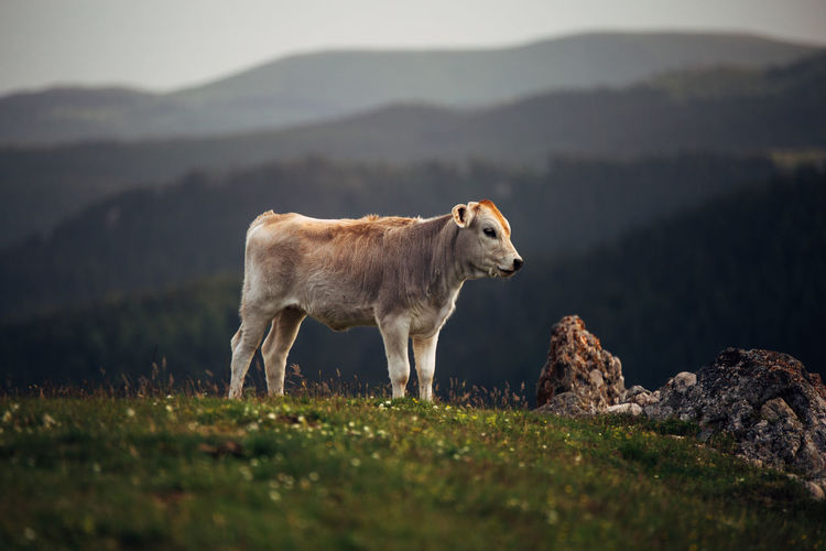 Calf Standing On Grassy Field Against Mountains