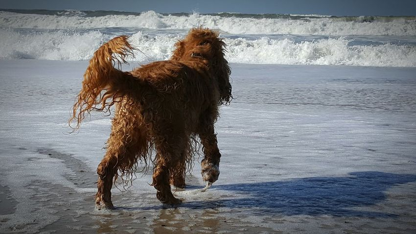 Pets Wet Dog Water Beach Outdoors Nature English Cocker Spaniel Cocker Spaniel  Hunde Liebe ♡ Strand Das Leben Ist Schön