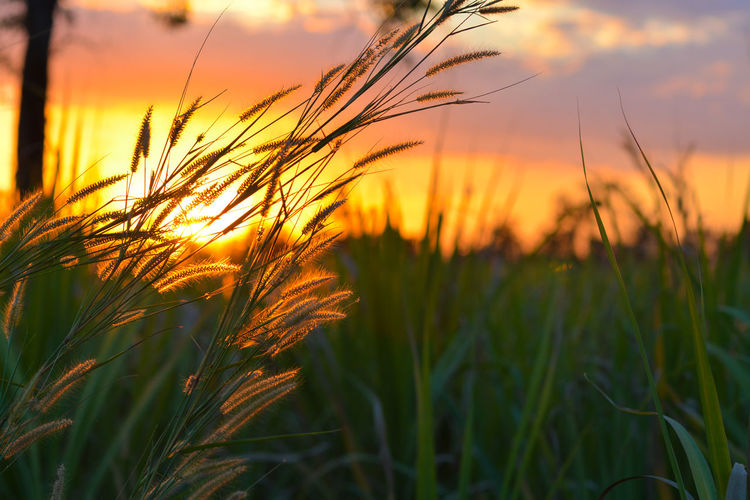 Close-Up Of Wheat Field Against Orange Sky
