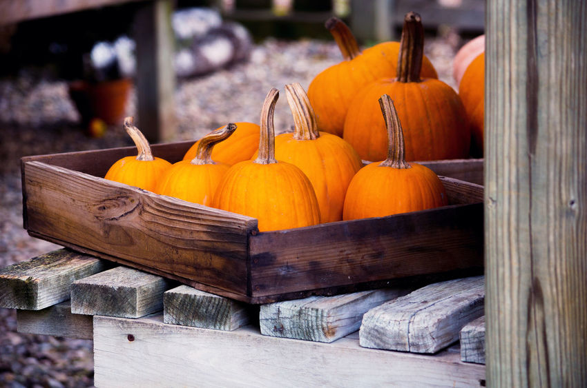 boxes of pumpkins are storing golden jack o lanterns for halloween Autumn Fall Beauty Fall Colors Halloween Michigan Pumpkins Rustic Thanksgiving USA Vegetables & Fruits Wood Boxes Day Decorations Decorative Food Freshness Gourds Orange Color Potting Shed Seasonal