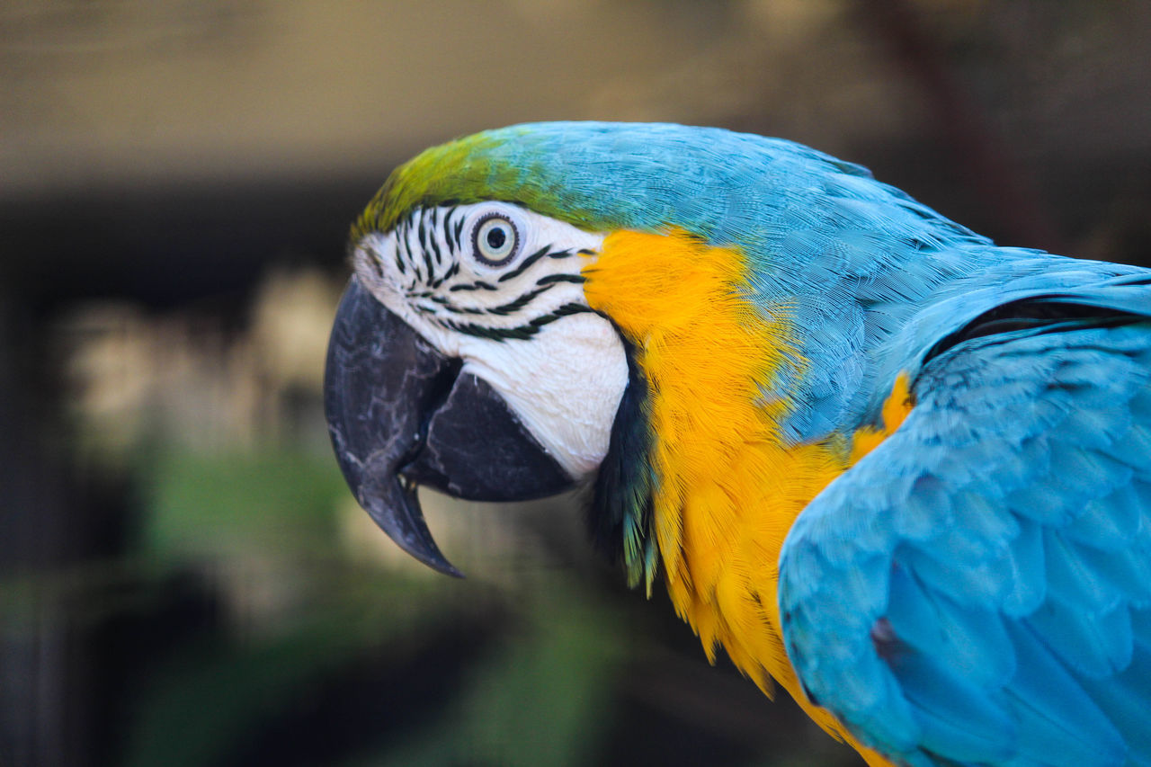 macaw, gold and blue macaw, parrot, bird, one animal, animals in the wild, focus on foreground, blue, animal themes, animal wildlife, close-up, no people, beak, day, outdoors, nature, beauty in nature