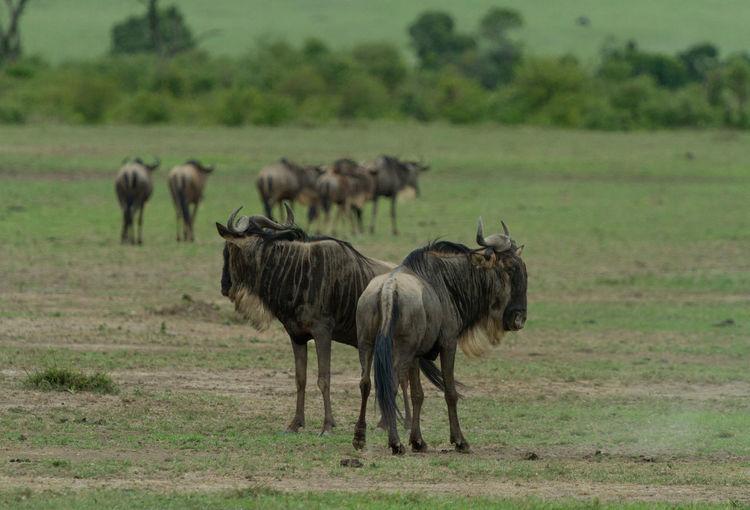Wildebeest in front of their herd