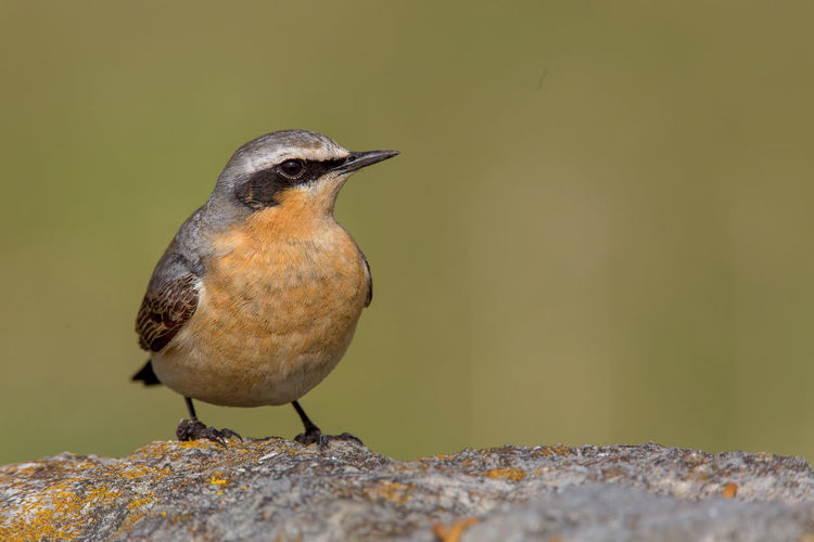 Northern Wheatear Collalba Gris Northern Wheatear Oenanthe Oenanthe Steinschmätzer Traquet Motteux Animal Themes Animal Wildlife Animals In The Wild Bird Close-up Day Nature No People One Animal Outdoors Perching Wheatear
