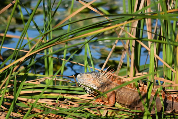 iguana among the cat tails One Animal Nature Animal Themes Outdoors Close-up Animals In The Wild No People Green Color Water Day Beauty In Nature Florida Wildlife Iguana Iguanas Reptiles Reptile Modern Day Dinosaur Animal Wildlife
