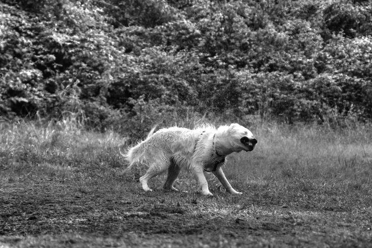 Nature Photography Walk Animal Themes Bw Day Dog Domestic Animals Full Length Grass Mammal Nature No People One Animal Outdoors Pets Running Tree Walking Wet Wetdog