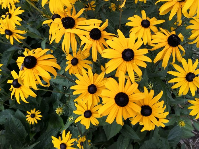 High angle view of yellow daisy flowers