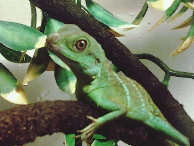 Rex... Mylizard Reptiles Pet Relaxing