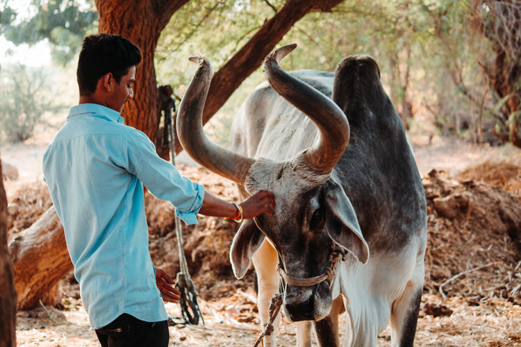 Man stroking cow outdoors