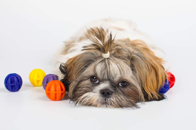Portrait of dog relaxing on white background