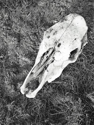 """""""Cow Down"""" A sun bleached cow skull lies desolate in the Juniper Woodlands of Central New Mexico, it's demise forever sealed in the secrecy of history. Cowskull Skull Desolate Demise Blackandwhite Photography Blackandwhite Black And White Newmexicophotography Ranch Life RuralExploration"""