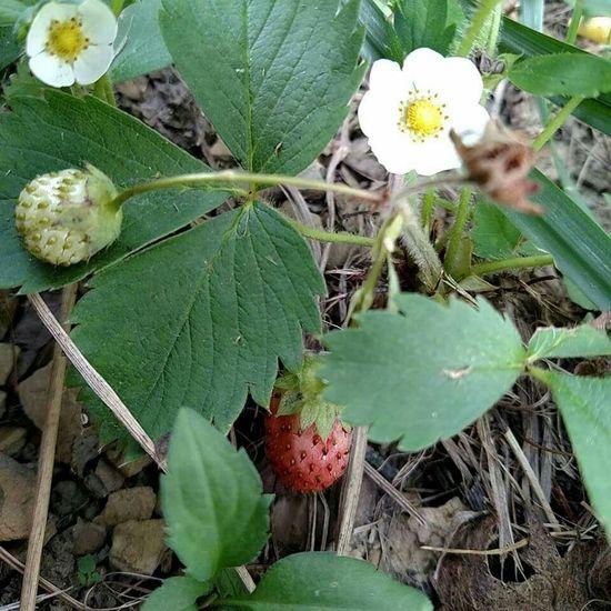 Mothernature Wild Strawberries Earths Gifts Natureshiddenbeauty