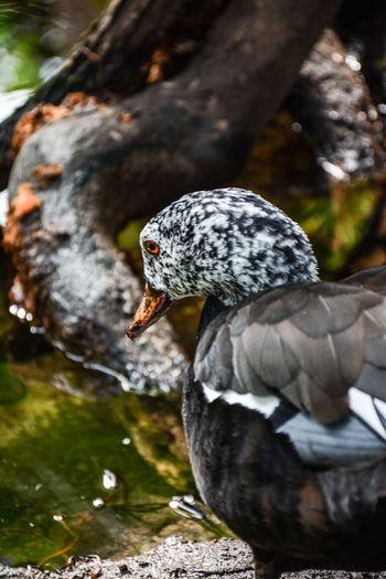 Close-up portrait of a multicolored duck