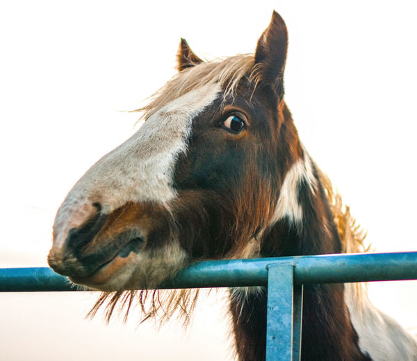 Close-up of horse against clear sky