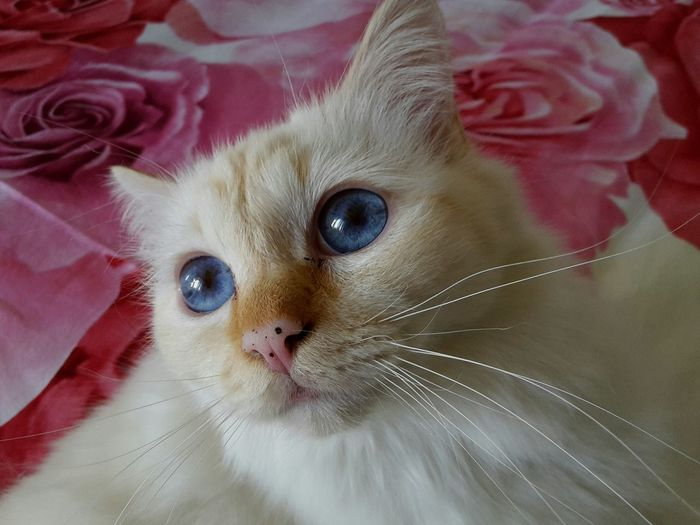Birman Cat Pets Animal Themes Close-up Portrait Domestic Animals Lovely Birmancats Cats Of EyeEm Kitten 🐱 Cute Pets Cute Morbidity Stefanovalsecchi Blue Eyes Blue Eyes Cat EyeEm EyeEm Gallery Eyeem Market Be. Ready. No People EyeEmNewHere