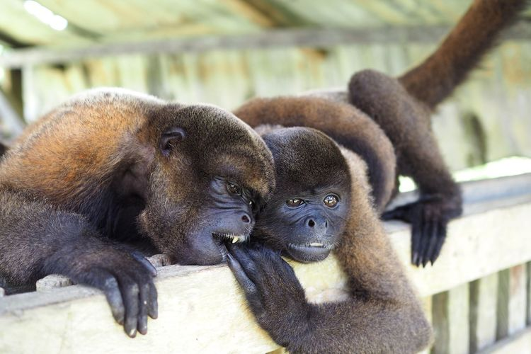Colombia Leticia Amazon Latinoamerica Southamerica Jungle Junglefever Monkeys Monkeylove Couple Friends Happy Life Globetrotter Cute Animal Wildlife Animal Animals In The Wild No People Monkey Outdoors Nature Animal Themes Close-up