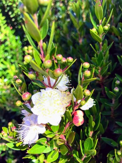 White blooms Santa Rosa CA White Line Plant Flower Growth Flowering Plant Freshness Beauty In Nature Close-up Fragility Petal Flower Head Day Focus On Foreground No People