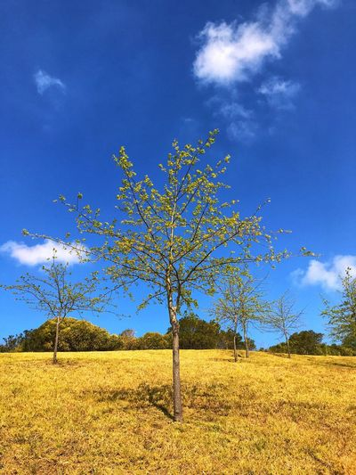 The tree is breaking the leaves in the spring. Landscape Blue Lone Sky Nature Tranquility Isolated Tree Beauty In Nature Field Outdoors No People Day Growth