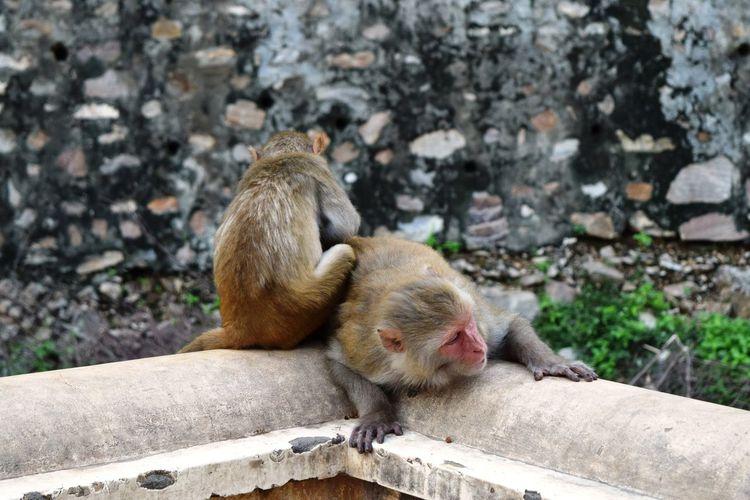 Galta ji, the monkey temple near the pink city, jaipur, rajasthan, india.