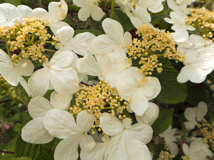 Beauty In Nature Blooming Close-up Day Flower Flower Head Fragility Freshness Garden Photography Growth Guelder Rose In My Garden Nature No People Outdoors Petal Plant Schneeball White Color