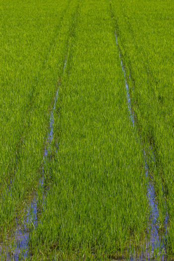 Agriculture Beauty In Nature Cereal Plant Crop  Cultivated Land Day Farm Field Freshness Grass Green Color Growth High Angle View Landscape Nature No People Outdoors Plant Rice Paddy Rural Scene Scenics Tranquil Scene Tranquility