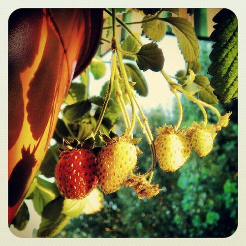 Fruit Summertime Strawberry Summer Vibes Last Sun