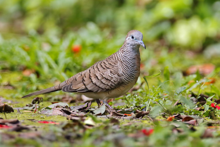 Animal Themes Animal Bird Animal Wildlife Vertebrate Animals In The Wild One Animal Selective Focus Plant Nature No People Side View Day Grass Close-up Land Green Color Field Full Length Leaf