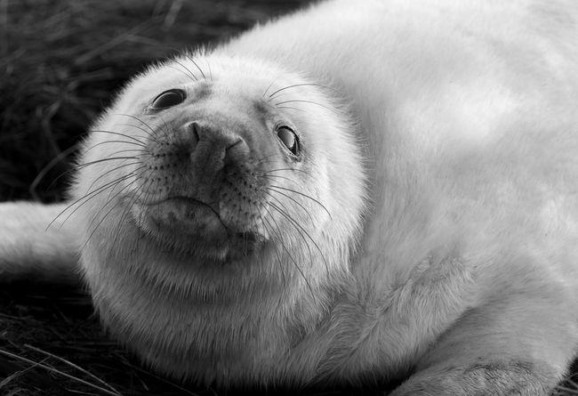 grey seals Animals In The Wild Calander Grey Seal Halichoerus Grypus Animal Themes Baby Animal Baby Animals Baby Seal British Wildlife Christmas Card Cute Animals Donna Nook Grey Seal Bab Grey Seal Pup Grey Seal Puppy Mammal Pup Seal Seal Seal - Animal Seals