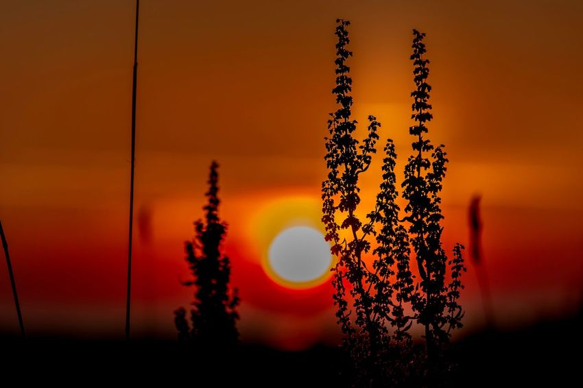 Sunset Orange Color Sky Silhouette Beauty In Nature Nature Sun Tranquility Tranquil Scene Sunlight No People Plant Focus On Foreground Scenics - Nature Tree Close-up Outdoors Growth Idyllic Non-urban Scene Beauty In Nature Tranquility Silhouette Nature Plant Growth Tree Sunlight Landscape