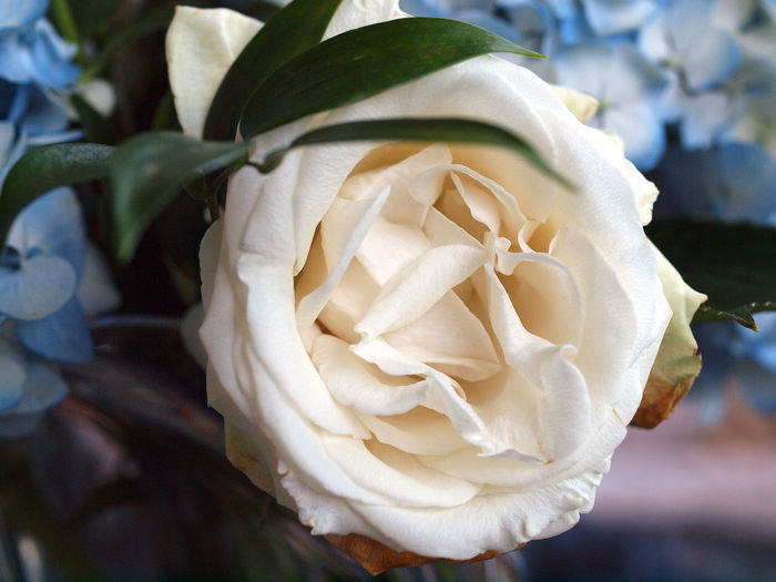Flowers Rose -