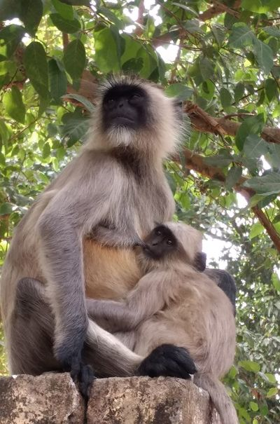 Mother's day special.... Mother will be always caring, loving, kind hearted..... Yesterday I captured this picture when a female monkey🐒 was relaxing with her baby.... Monkeys🐵 Love ♥ Mammal Animals In The Wild Animal Themes Day Nature Ape No People Baboon Outdoors Monkey One Animal Animal Wildlife Tree Mother's Day Mother's Love 🍭🍯🍏🍑🍆🍊🍇🍓🍒 🍭🍯🍏🍑🍆🍊🍇🍓🍒 Relaxing Time