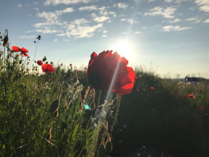 Close-up of red poppy flowers on field against sky