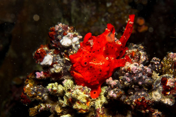 Diving Frogfish Philippines SCUBA Scuba Diving Travel Underwater World Animal Themes Animal Wildlife Animals In The Wild Close-up Coral Day Frog Fish Nature No People One Animal Outdoors Photography Red Sea Sea Life UnderSea Underwater Underwater Photography